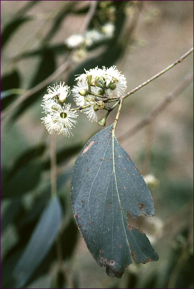 Morwell National Park - Species - Eucalyptus regnans